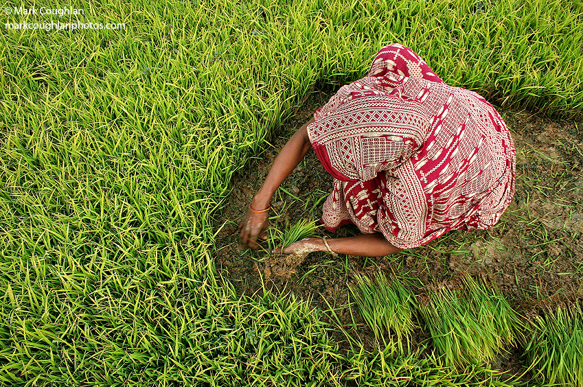 Bangladesh-women-village-rice-field